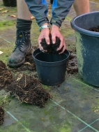 12. If planting in pots use home made compost or good quality compost and put a layer in base of pot. If replanting in ground dig hole and add compost