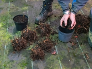 6. Repot the clumps in correct sized pots, or replant in ground using compost.