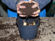 3.	Cover bulbs with compost