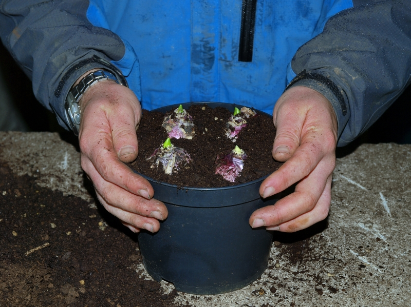 exceptional how to plant hyacinth bulbs Part - 1: exceptional how to plant hyacinth bulbs pictures