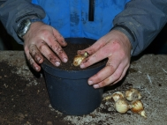 2.	Place bulbs on top of compost