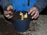 4.	Half cover bulbs with compost