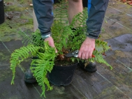 2.	Carefully remove spent fronds using secateurs