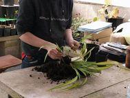1.carefully split plant