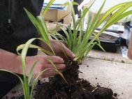4.carefully splitting larger clump