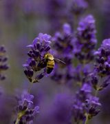 Bee loving herbaceous perennials