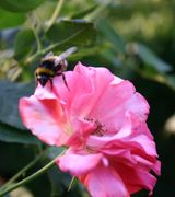 Bee loving trees and shrubs