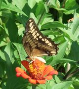 Butterfly loving herbaceous perennials