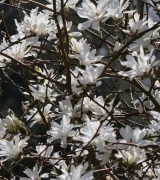 Image of Magnolias - for smaller gardens