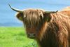 Saler Cattle