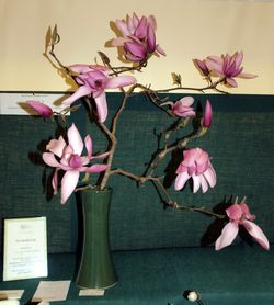 Magnolia 'Surprise' which one first place