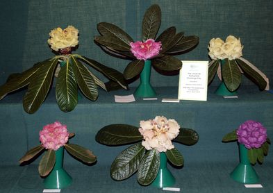 Six winning rhododendrons