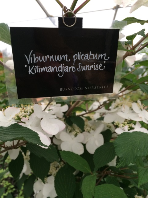 Viburnum plicatum 'Kilimanjaro Sunrise - Chelsea Flower Show 2015 Plant of the Year