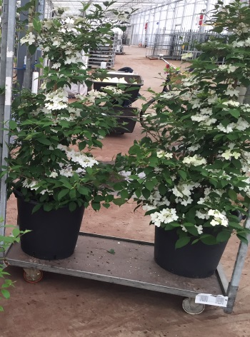 Viburnum plicatum 'Kilimanjaro Sunrise - on trolleys