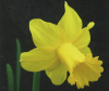 Daffodil Mr Julian