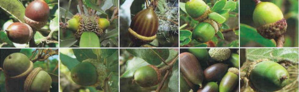 The History of the Fagaceae Oak