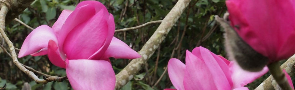 The National Collection of Magnolias at Caerhays