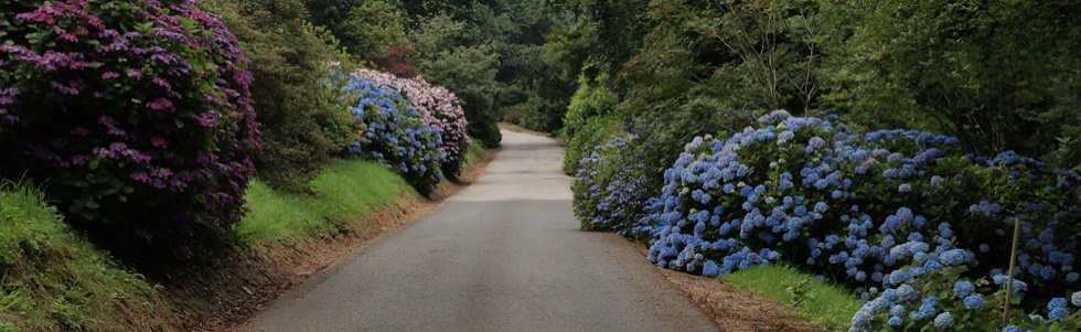 Hydrangeas at Burncoose - CANCELLED
