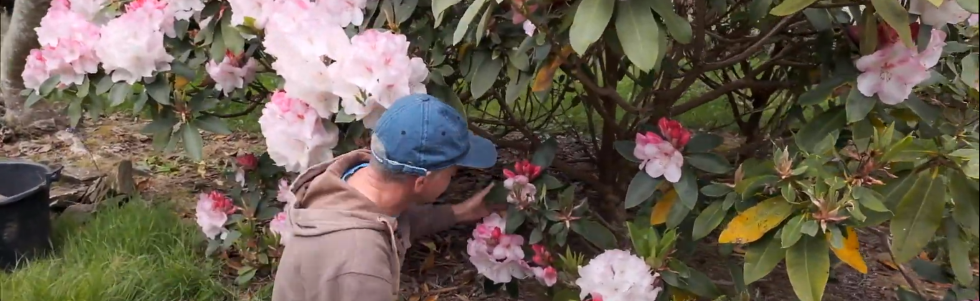 Layering Rhododendrons