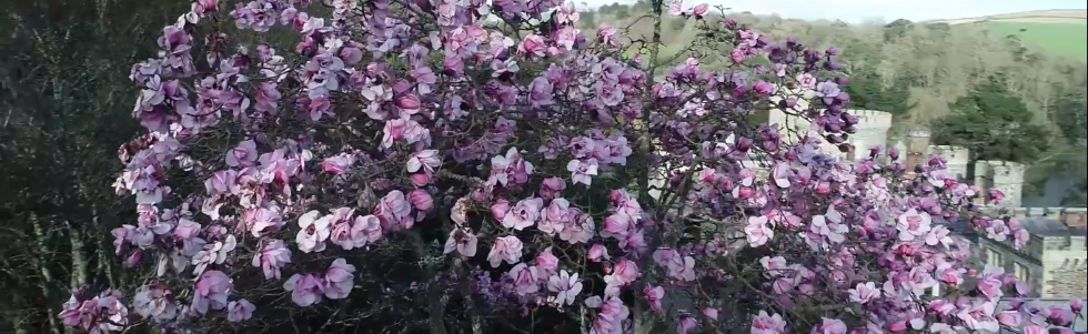 Drone Footage of Magnolias