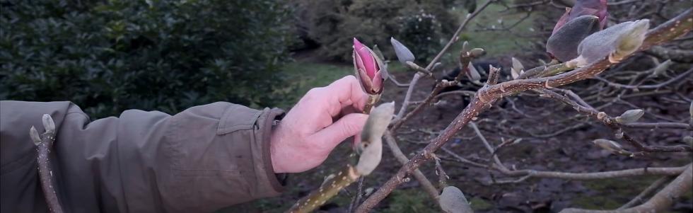 First Magnolia Colour at Caerhays