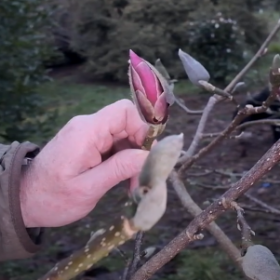 First Magnolia Colour at Caerhays