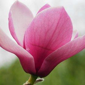Newest Magnolia Hybrids