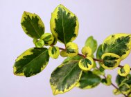 Azara  integrifolia 'Variegata'