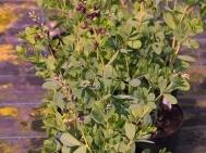 Baptisia australis 'Dutch Chocolate'
