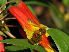 Bomaria caldasii