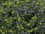 Bupleurum fruiticosum