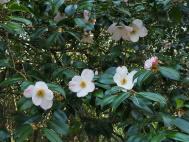 Camellia   'J.C.Williams'