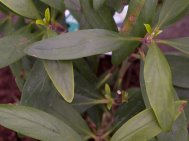 Carpenteria   californica 'Bodnant'
