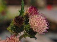 Cirsium 'Pink Blush'