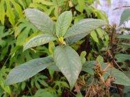 Clethra luzmariae