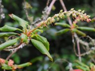 Clethra   - nearly dead