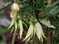 Clianthus  puniceus 'Albus'