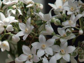 Deutzia  corymbiflora