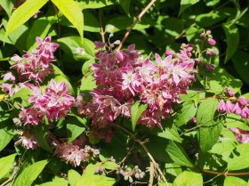Deutzia   'Strawberry Fields'