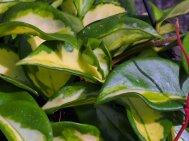 Hoya carnosa 'Tricolor'