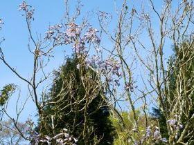 Paulownia lilacina