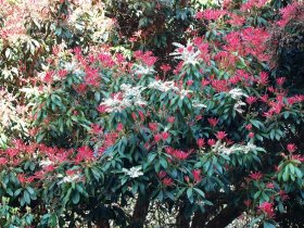 Pieris forrestii 'Forest Flame'