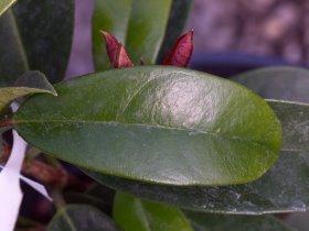 Pileostegia  viburnoides