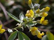 Piptanthus  nepalensis