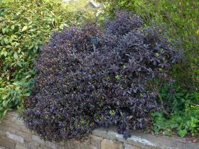 Pittosporum  tenifolium 'Tom Thumb'