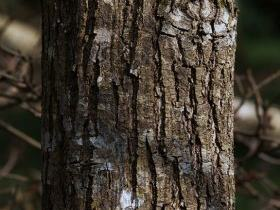 Platycarya strobilacea