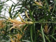 Podocarpus henkellii
