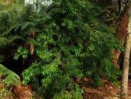 Podocarpus matudae