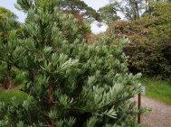 Podocarpus  'Blue Gem'