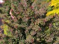 Podocarpus  'Red Tip'